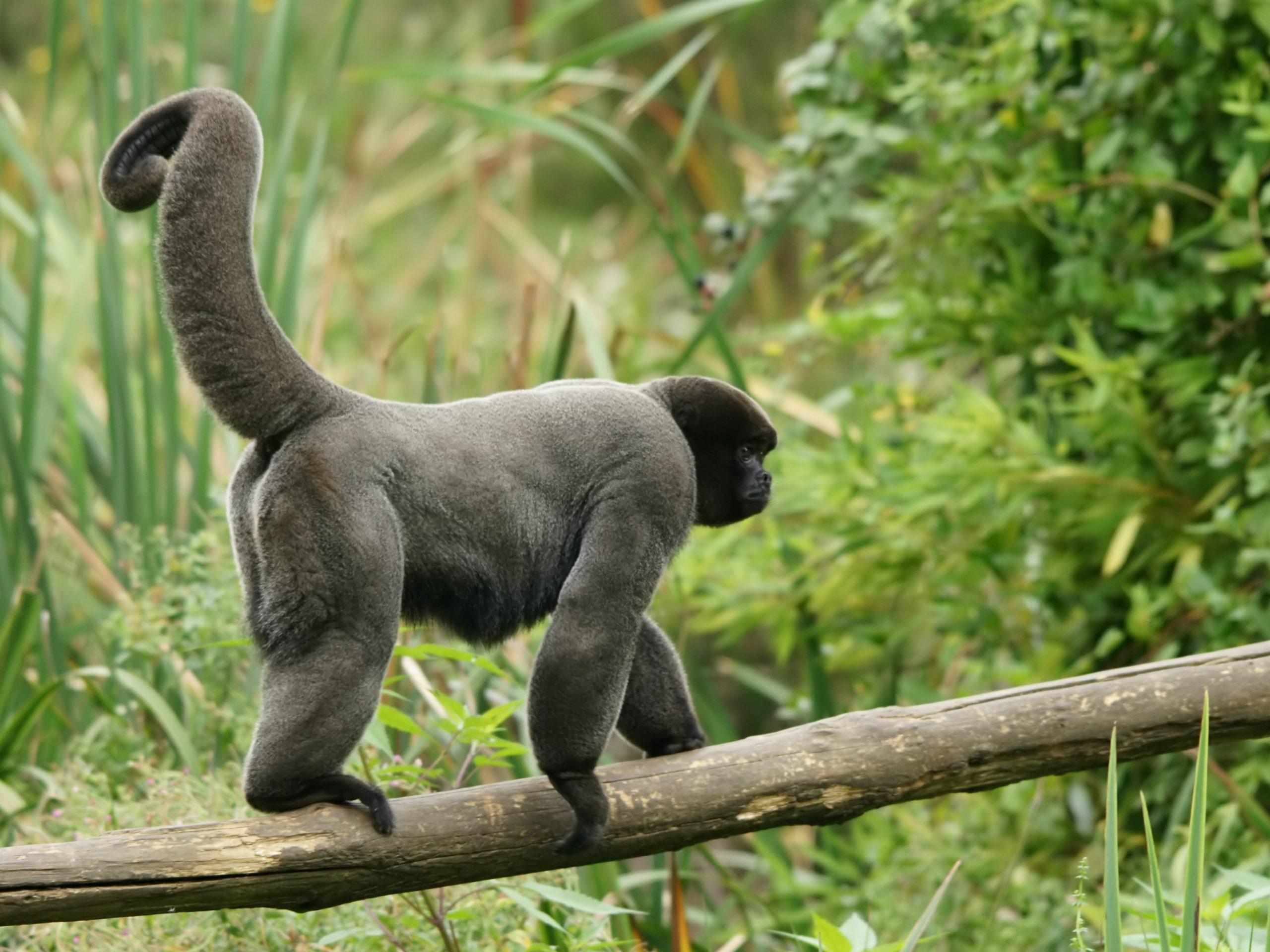 maimuta-lanoasa-cenusie-scaled.jpg